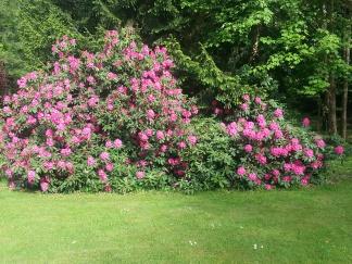 Rhododendron du parc